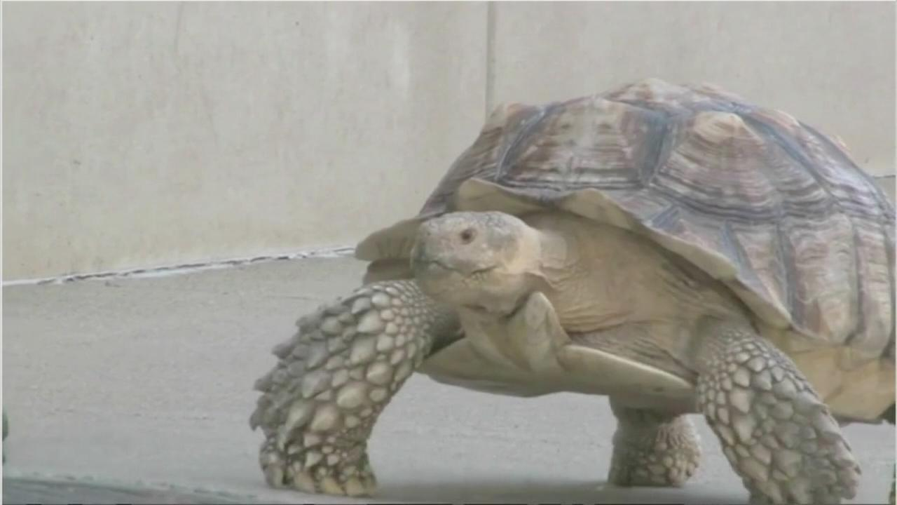 Spike the tortoise fights for life