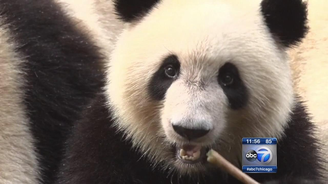 These giant panda babies are unbearably cute