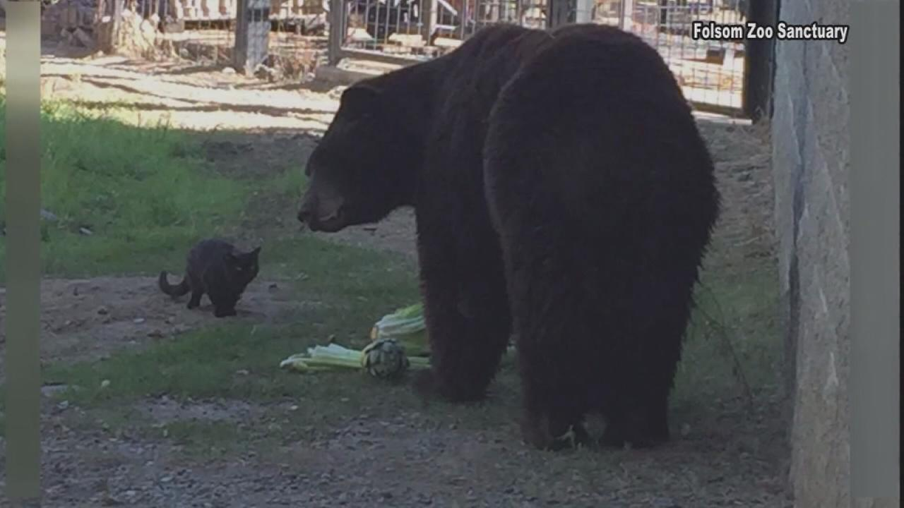 Cat becomes friends with bear at Calif. zoo