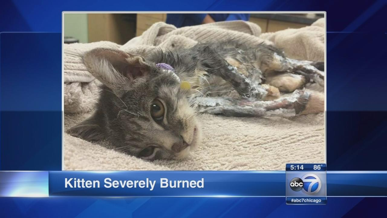 Kitten possibly set on fire, suffers severe burns