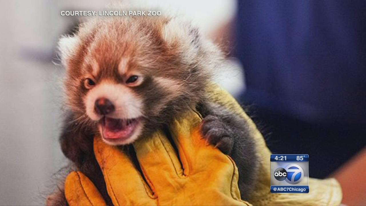 Red panda cubs named after Cubs