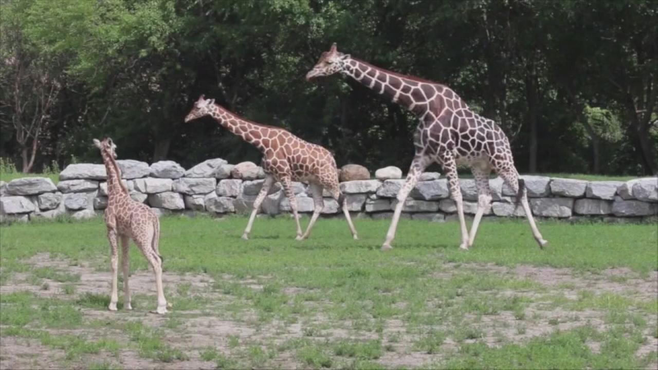 Baby giraffe meets family