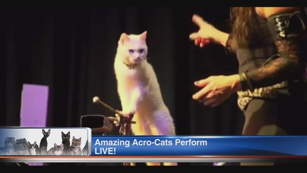 Acro-Cats tour coming to Chicago
