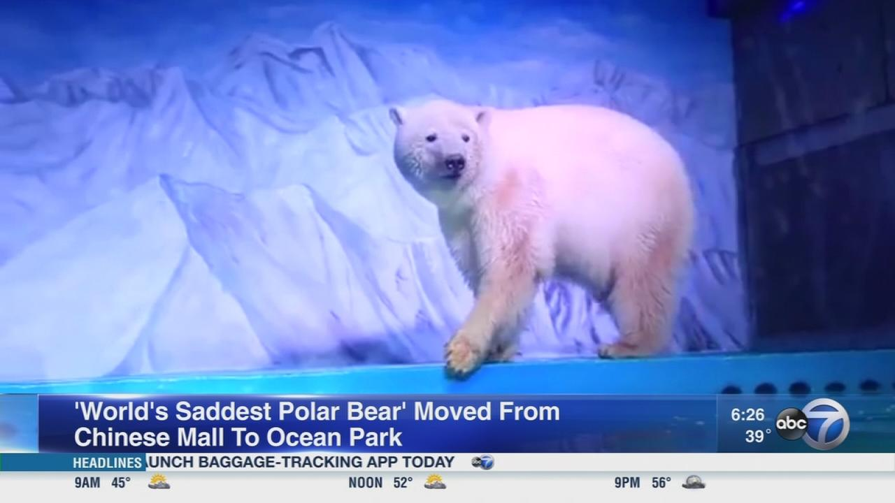 Sad polar bear moves to new home