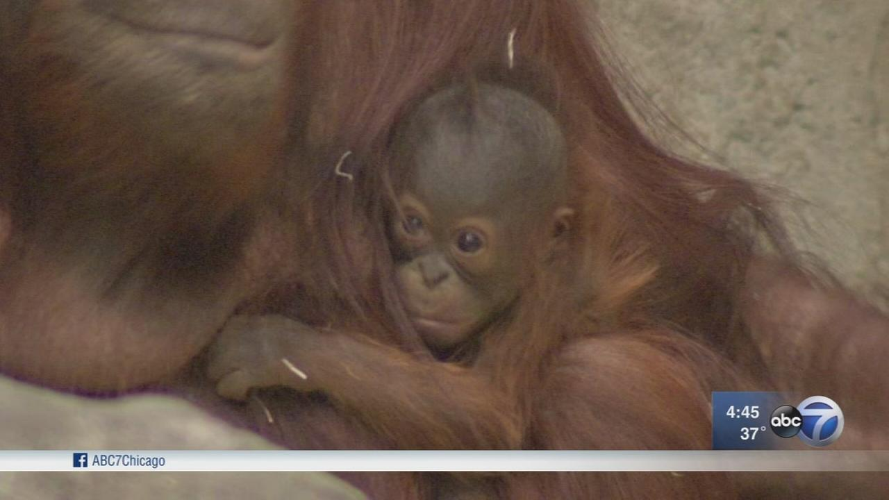 Baby orangutan makes Brookfield Zoo debut