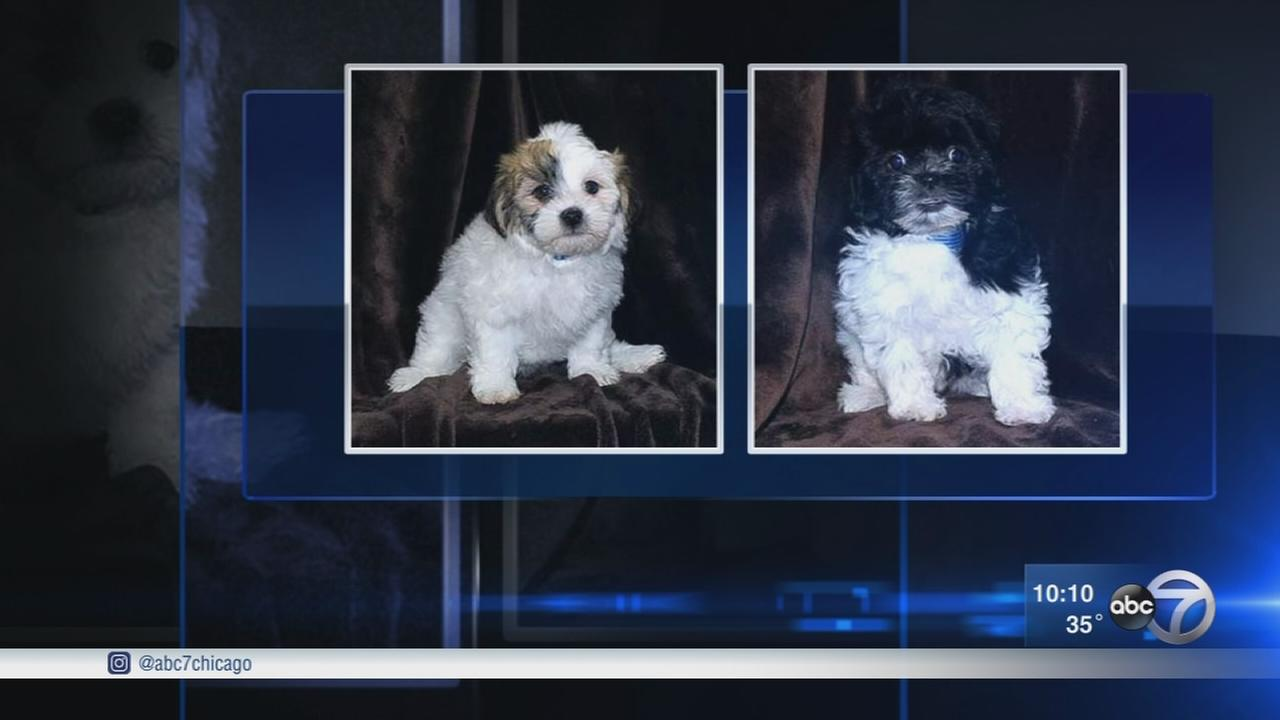 Designer dogs stolen from Arlington Heights pet store