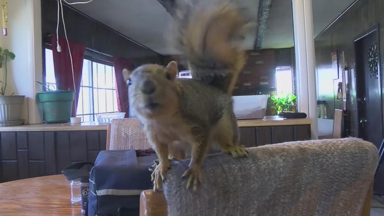 Pet squirrel goes nuts on burglar