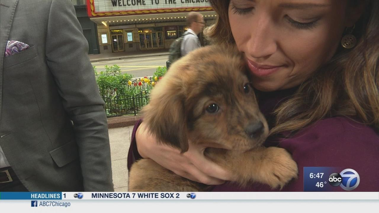 Uber to deliver puppies in Chicago