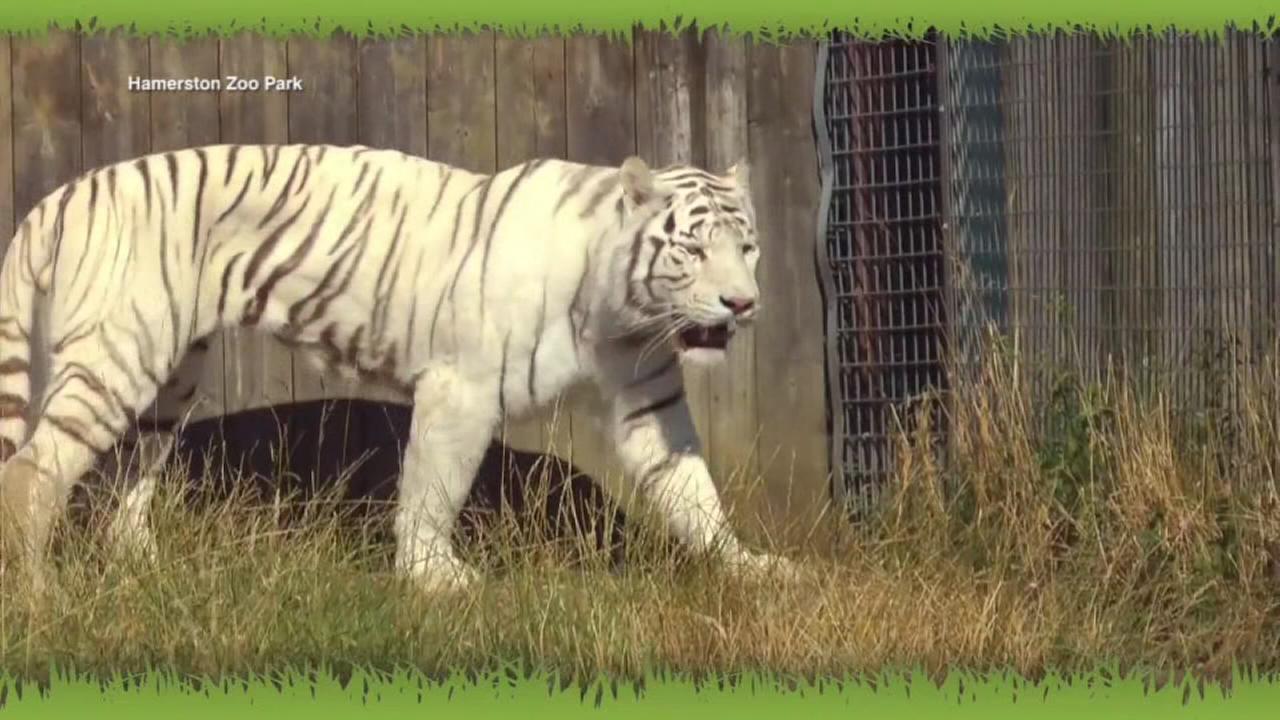 Tiger kills female zookeeper