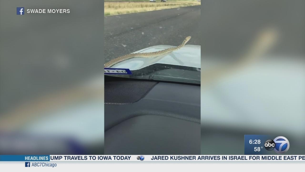 Bull snake slithers on drivers hood in Texas