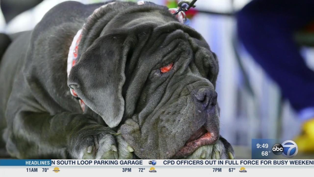 Worlds Ugliest Dog crowned