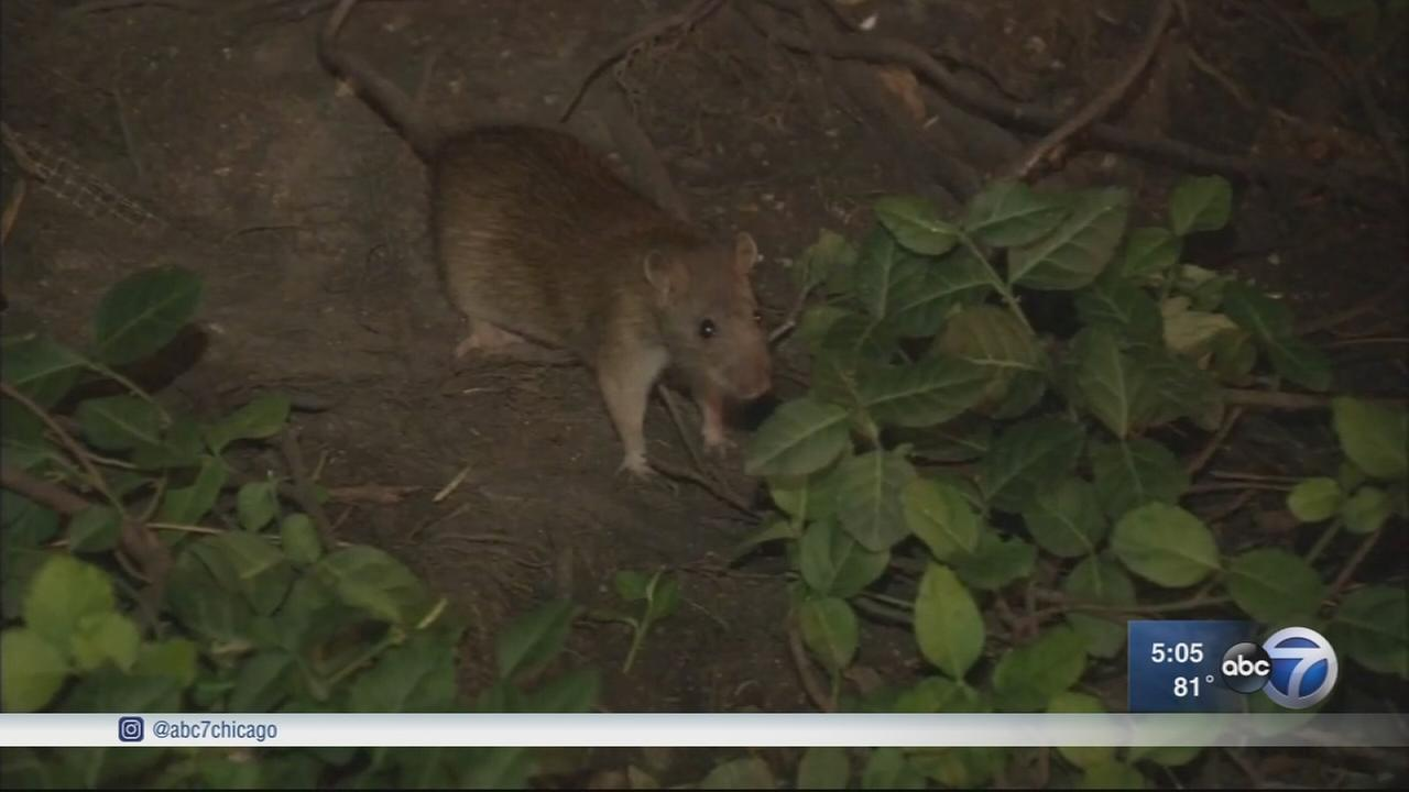 Rodent bait that causes infertility used in Chicago