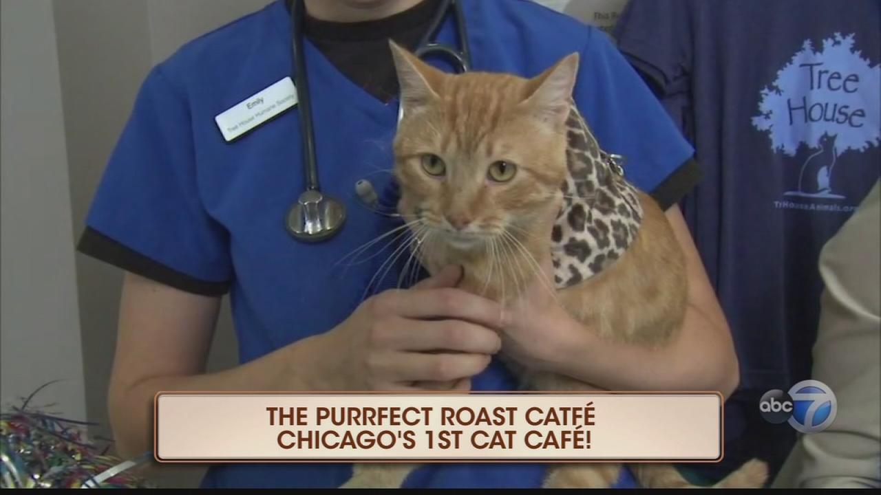 Chicago?s first cat cafe, a purrfect place for cat lovers
