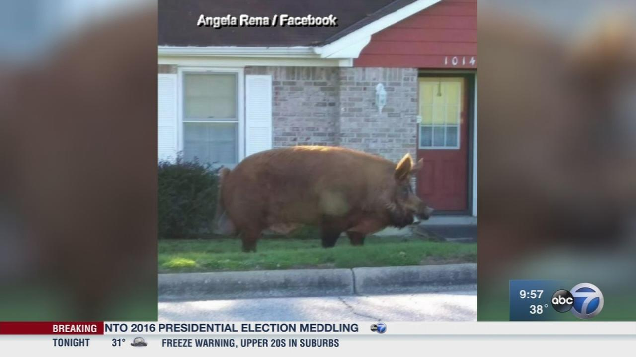Huge hog surprises Ala. woman