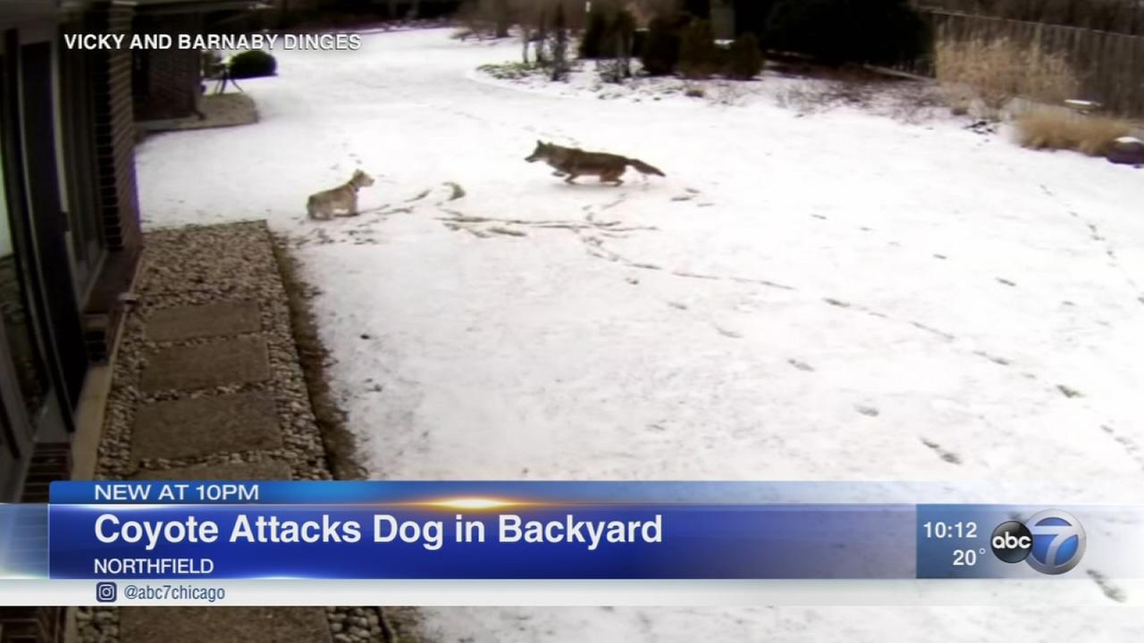 Coyote attacks dog in Northfield