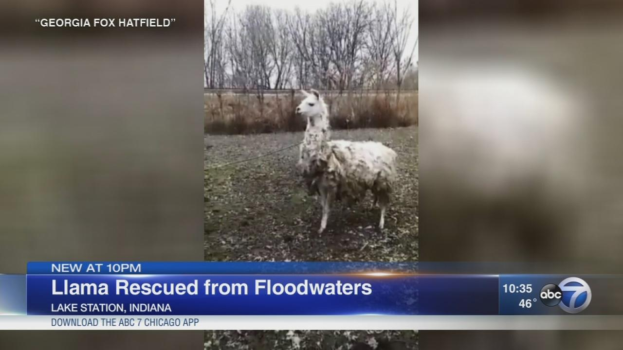 Llama rescued from Lake Station floodwaters
