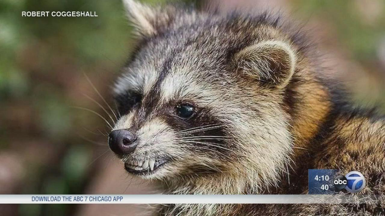 Zombie raccoons infected with distemper reported in Cook County and Ohio