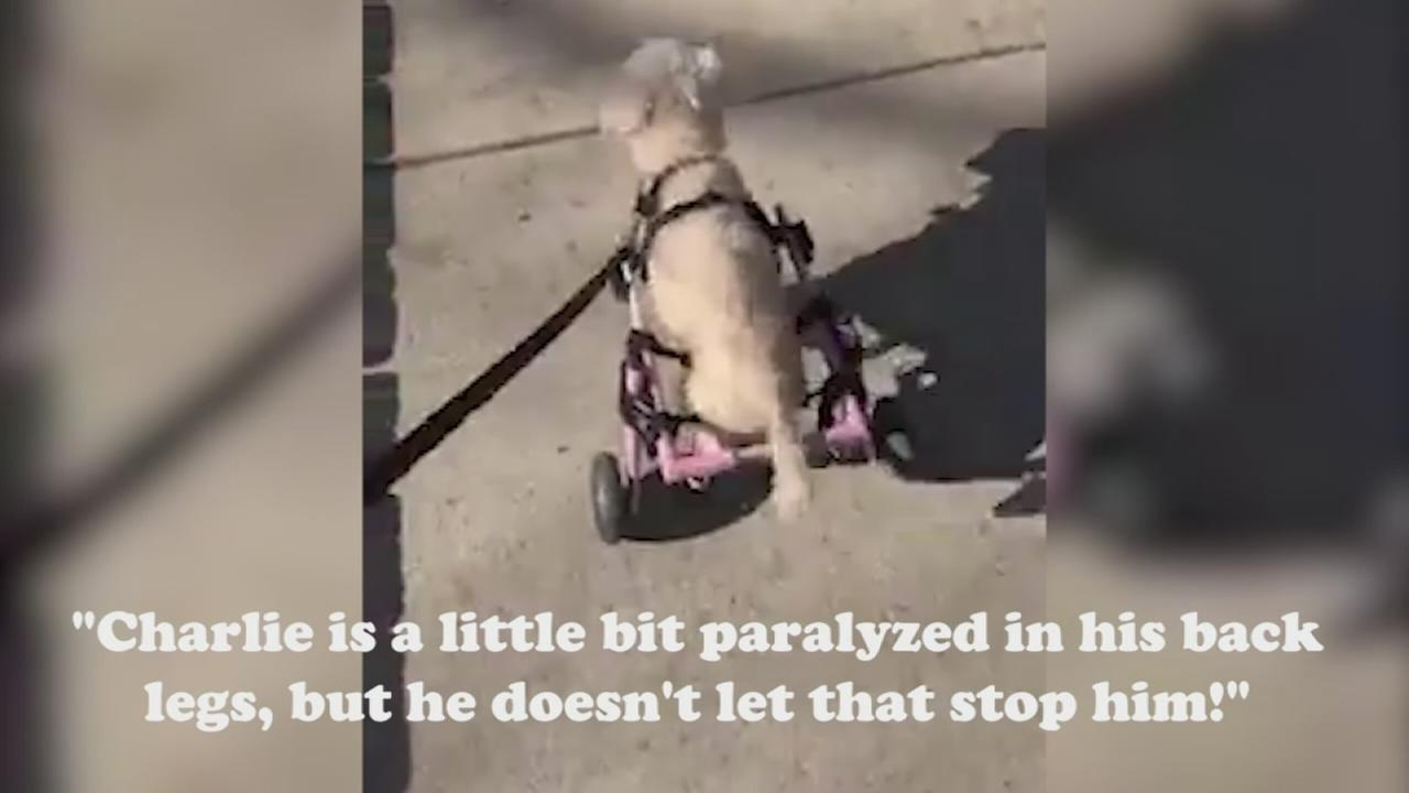 Paralyzed pup at PAWS Chicago looking for his forever home