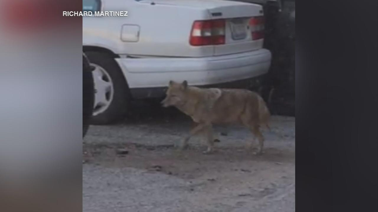 Coyote spotted in Andersonville