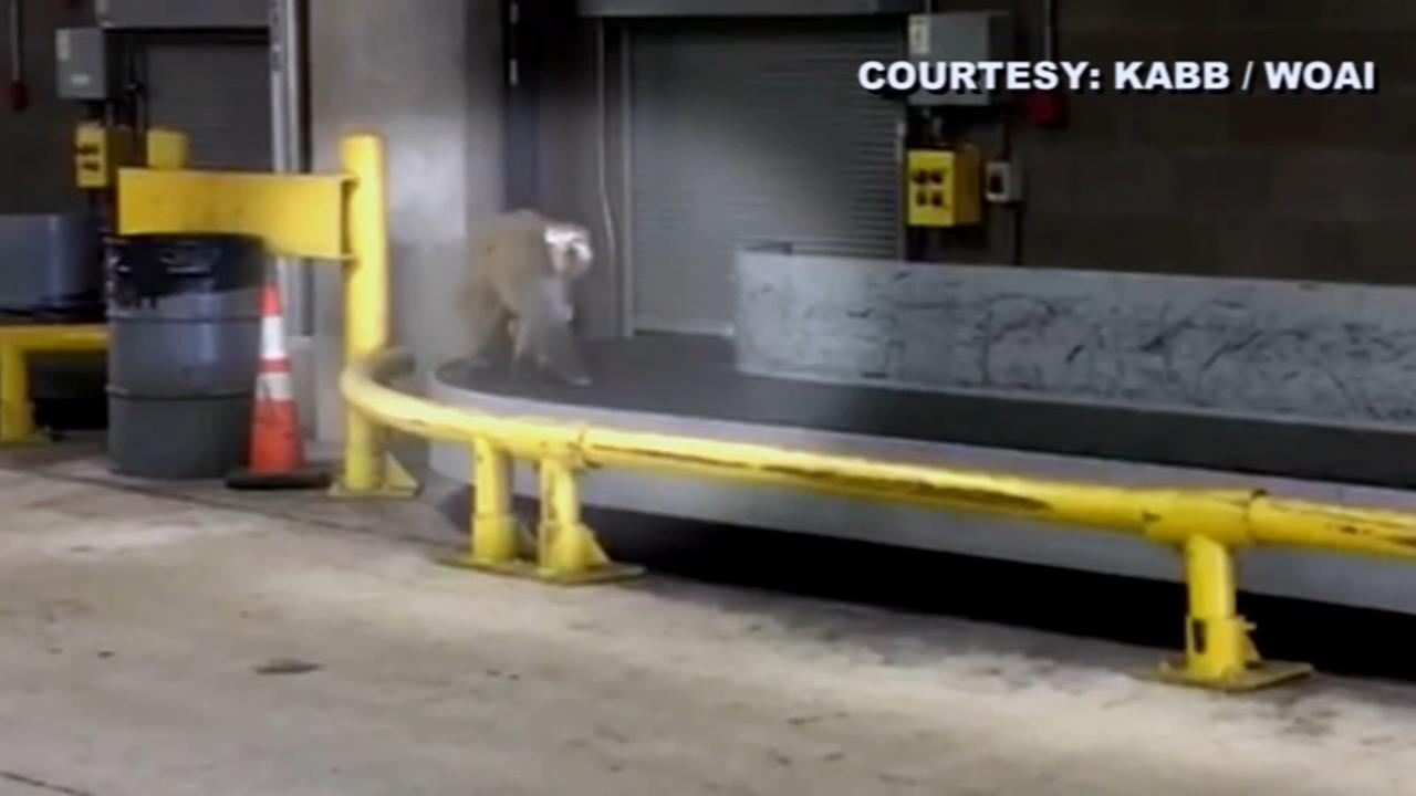 Monkey from Chicago flight gets loose in San Antonio Airport