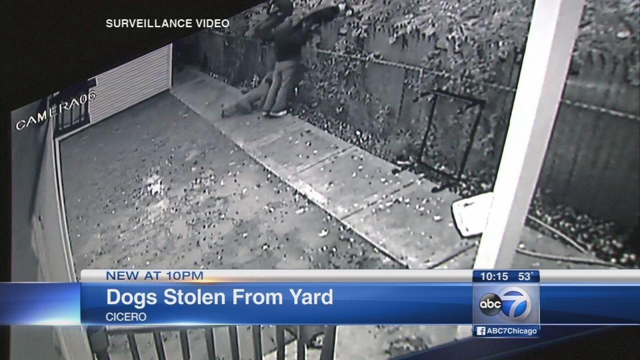 Cicero man says men stole 3 dogs from his backyard