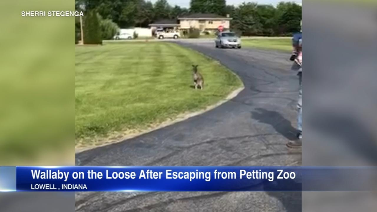 Wallaby escapes from petting zoo in Northwest Indiana