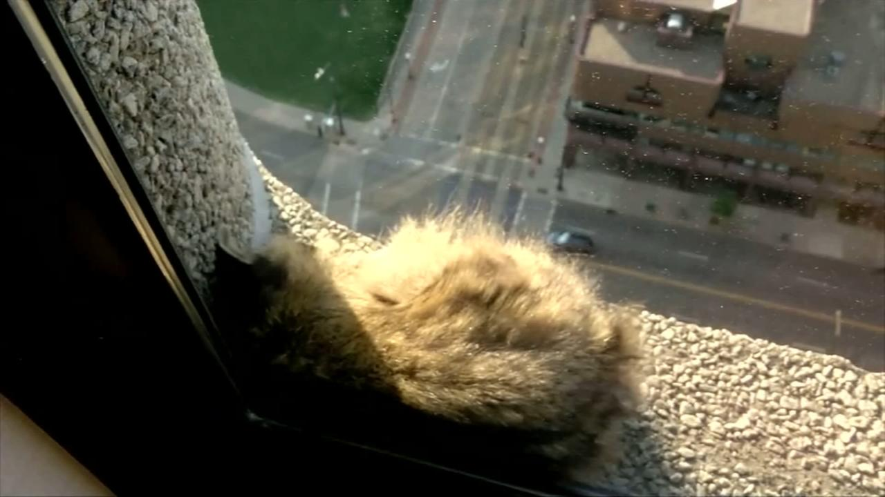 Raccoon captivates internet with Minnesota skyscraper climb