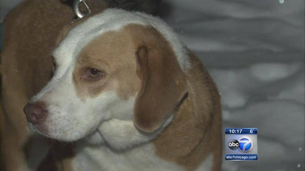 Bartlett beagle rescued after getting stuck in underground pipe