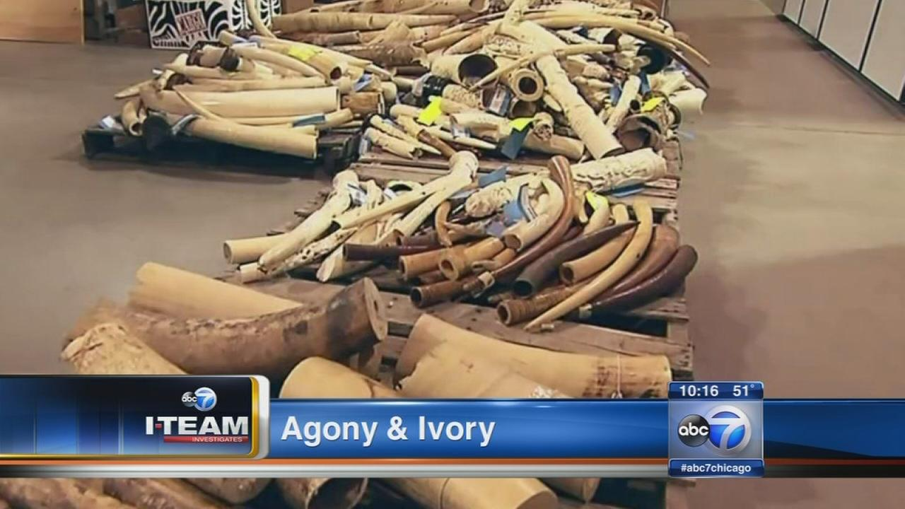 I-Team links Chicago ivory smuggling to terrorists