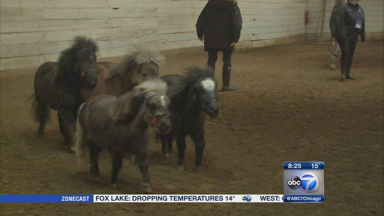 Mane in Heaven offers pet therapy with miniature horses
