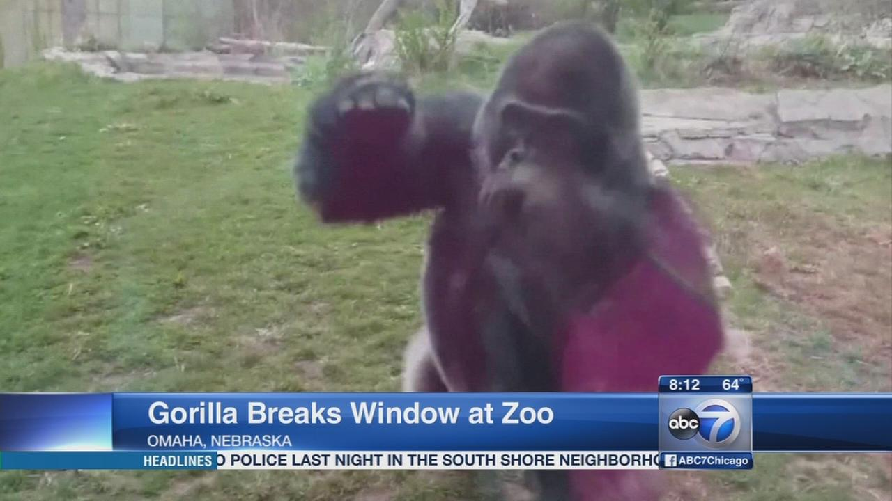 Gorilla breaks window at zoo