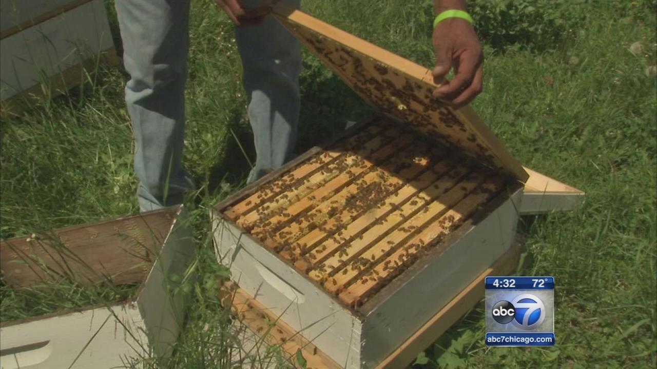 Chicago beekeeper stung by hive thieves