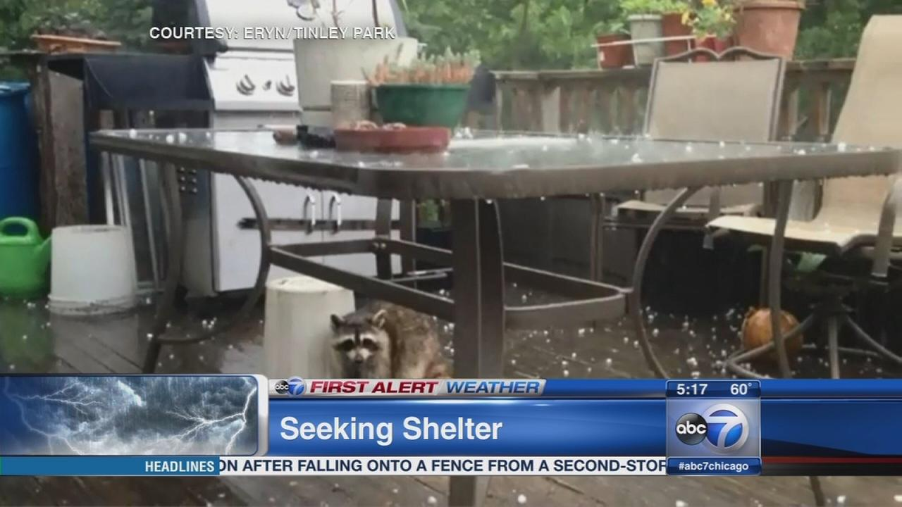 Raccoon seeks shelter