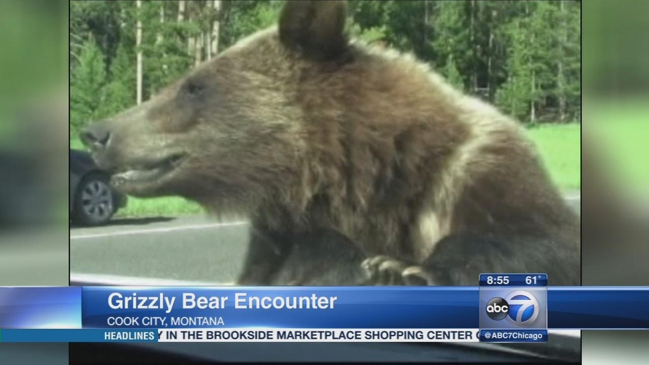 Grizzly bear approaches car