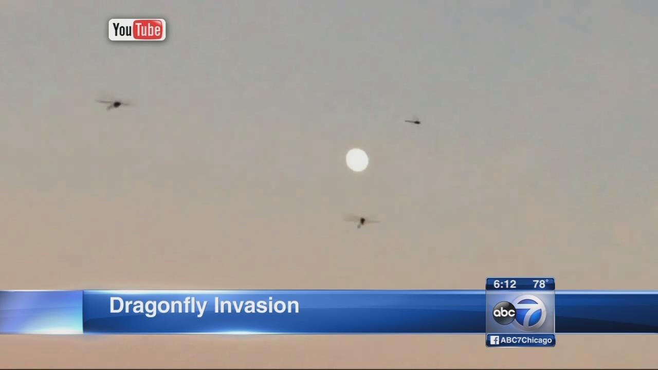 Dragonflies swarm Chicago lakefront