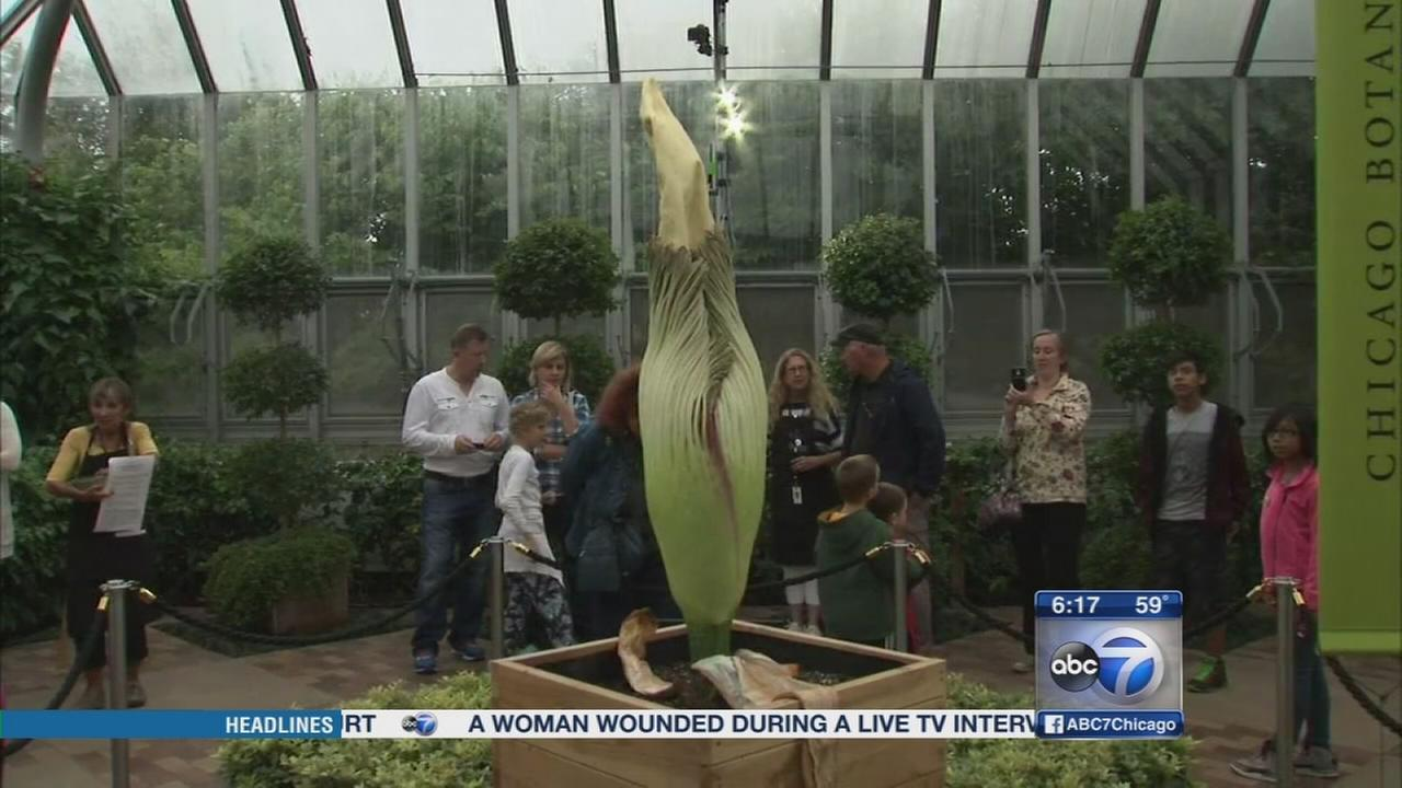 Waiting for Spike: Corpse flower yet to bloom