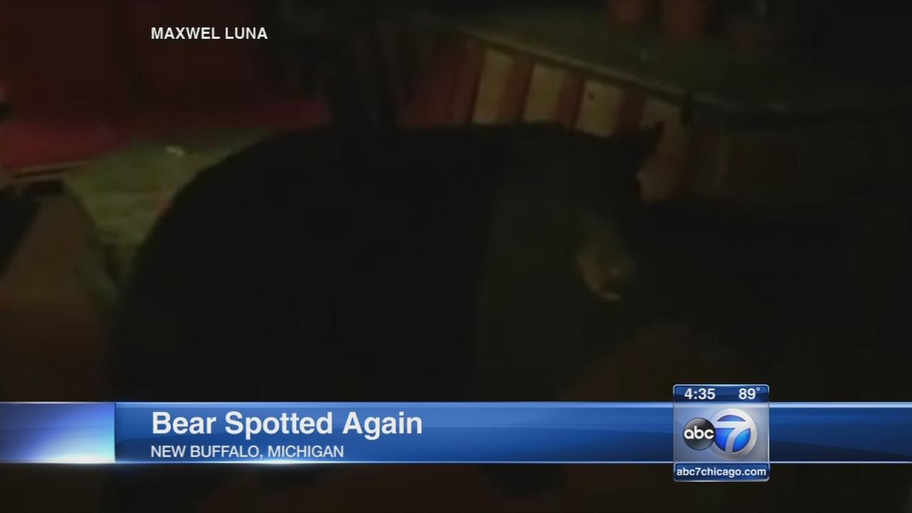 Bear spotted in New Buffalo, Michigan