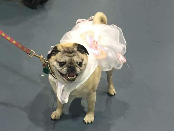 "<div class=""meta image-caption""><div class=""origin-logo origin-image none""><span>none</span></div><span class=""caption-text"">Ballerina pug (Photo/Jenn Rourke)</span></div>"