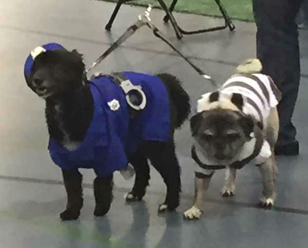 "<div class=""meta image-caption""><div class=""origin-logo origin-image none""><span>none</span></div><span class=""caption-text"">Cops and robbers pugs (Photo/Jenn Rourke)</span></div>"