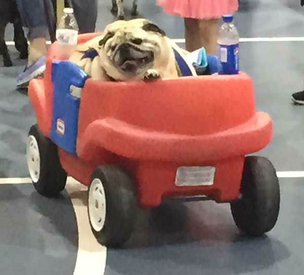 "<div class=""meta image-caption""><div class=""origin-logo origin-image none""><span>none</span></div><span class=""caption-text"">Driving pug (Photo/Jenn Rourke)</span></div>"