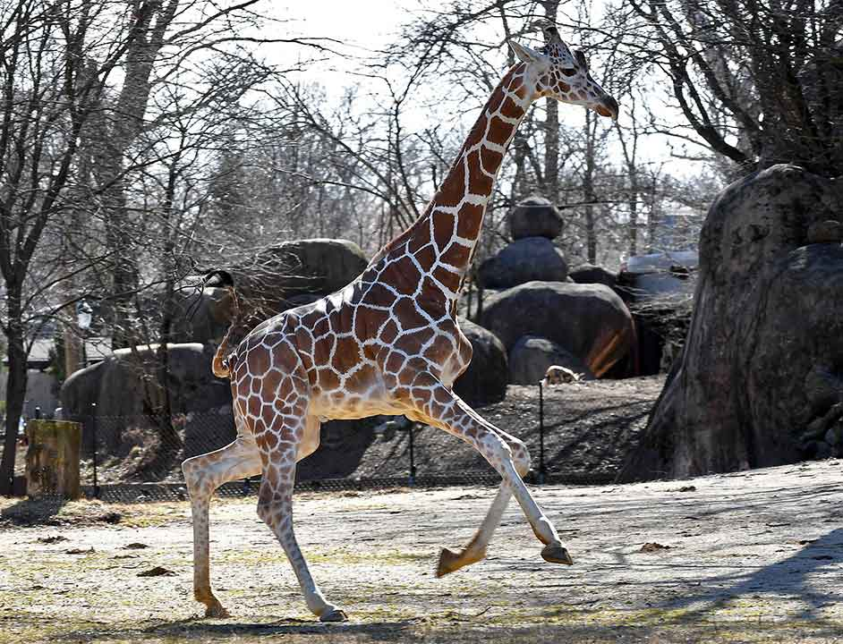 "<div class=""meta image-caption""><div class=""origin-logo origin-image wls""><span>WLS</span></div><span class=""caption-text"">Giraffes at the Brookfield Zoo enjoyed the unseasonably warm, spring-like weather on Sat., Feb. 18, 2017. (Brookfield Zoo)</span></div>"