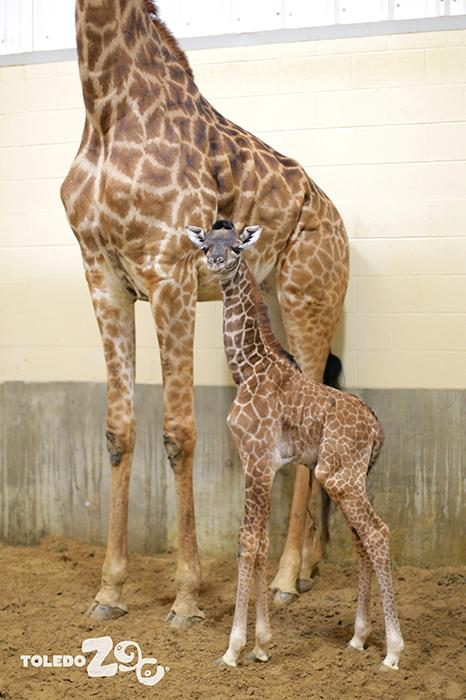 "<div class=""meta image-caption""><div class=""origin-logo origin-image none""><span>none</span></div><span class=""caption-text"">Kipenzi the newborn giraffe. (Toledo Zoo)</span></div>"