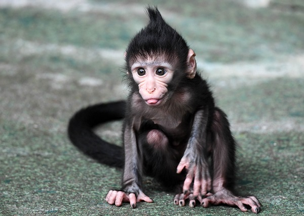 <div class='meta'><div class='origin-logo' data-origin='WLS'></div><span class='caption-text' data-credit='Brookfield Zoo'>Zingo, a black-crested mangabey born at the Brookfield Zoo on July 4.</span></div>