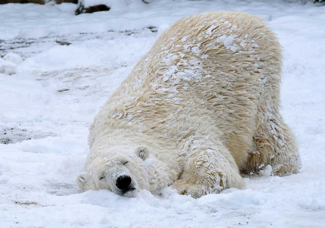 <div class='meta'><div class='origin-logo' data-origin='WLS'></div><span class='caption-text' data-credit='Jim Schulz/Chicago Zoological Society'>Nan, a 21-year-old polar bear at Brookfield Zoo is enjoying the wintry weather that finally arrived in Chicago.</span></div>