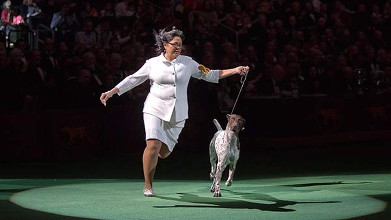 CJ, a German shorthaired pointer, is shown in the ring during the Best in Show competition at the 140th Westminster Kennel Club dog show. CJ won Best in Show.