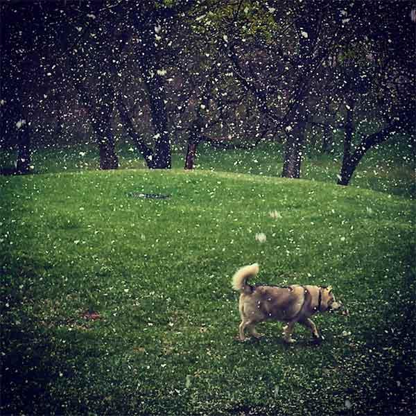 <div class='meta'><div class='origin-logo' data-origin='none'></div><span class='caption-text' data-credit='Susan Q Rogozinski'>Cyan the dog plays in the snow behind Philadelphia University.</span></div>