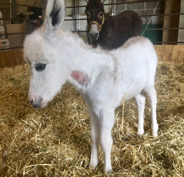 Help Name The Pspca S Baby Donkey 6abc Com