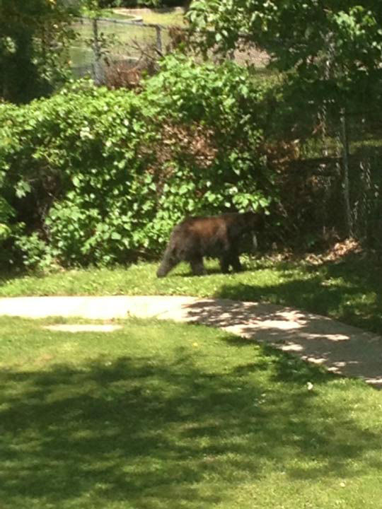 <div class='meta'><div class='origin-logo' data-origin='none'></div><span class='caption-text' data-credit='Photo/Photo credit: Michele Calton'>Police say a bear was sighted climbing a fence into the Bucks Meadow Apartment Complex in Bensalem, Pa. on May 25, 2014.</span></div>