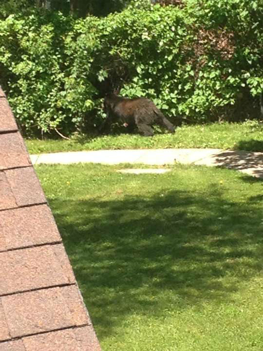 Police say a bear was sighted climbing a fence into the Bucks Meadow Apartment Complex in Bensalem, Pa. on May 25, 2014. <span class=meta>(Photo&#47;Photo credit: Michele Calton)</span>