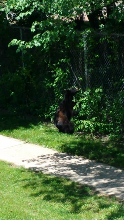 Police say a bear was sighted climbing a fence into the Bucks Meadow Apartment Complex in Bensalem, Pa. on May 25, 2014. <span class=meta>Photo/Photo credit: Rick Voran Jr.</span>
